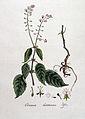 Circaea lutetiana — Flora Batava — Volume v4.jpg