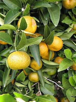 Citrus reshni - Citrus reshni
