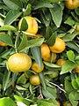 Citrus reticulata-Cleopatra IMG 2022.jpg