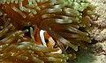 Clark's Anemonefish (Amphiprion clarkii) (8502615249).jpg