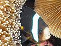 Clarke's Anemonefish, Bunaken Island.jpg