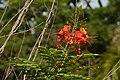 Clavellina (Caesalpinia pulcherrima) (14227504660).jpg