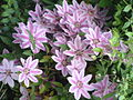 Clematis 'Nelly Moser' (1).jpg