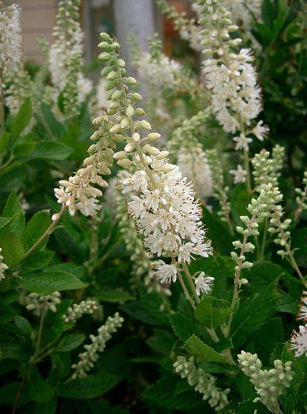 File:Clethra alnifolia2.jpg