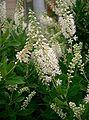 Clethra alnifolia2.jpg