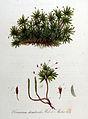 Climacium dendroides — Flora Batava — Volume v9.jpg