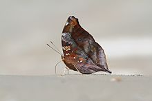 Close wing position of Doleschallia bisaltide Cramer, 1777 – Autumn Leaf.jpg