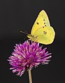 Clouded Yellow Butterfly (6190502479).jpg