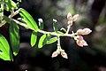 Cobark Asteraceae.jpg