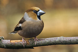 definition of hawfinch