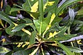 Codiaeum variegatum 21zz.jpg