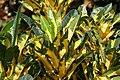 Codiaeum variegatum Nortii 1zz.jpg