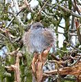 Cold, fluffed-up Dunnock. - Flickr - gailhampshire.jpg