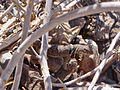 Collared lizard (Crotaphytus collaris) (14045610600).jpg