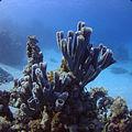 Colonial tube-sponge (Callyspongia siphonella) (10069315045).jpg