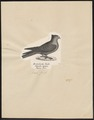 Columba livia - 1809-1845 - Print - Iconographia Zoologica - Special Collections University of Amsterdam - UBA01 IZ18900193.tif