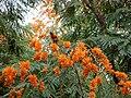 Colvillea racemosa.jpg
