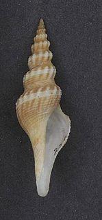 <i>Comitas kamakurana</i> species of mollusc