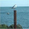 Common Black-headed Gull - geograph.org.uk - 512473.jpg