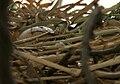 Common Coot (Fulica atra) nest in Hyderabad W3 IMG 8508.jpg