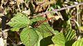 Common Darter dragonfly (10207652133).jpg