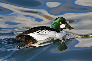Common Goldeneye.jpg