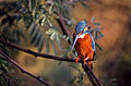 Common Kingfisher (Alcedo atthis) (20302975310).jpg
