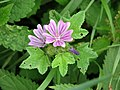 Common Mallow (Malva sylvestris) - geograph.org.uk - 929797.jpg