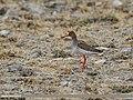 Common Redshank (Tringa totanus) (33679579960).jpg