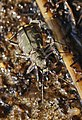 Common Shore Tiger Beetle.jpg