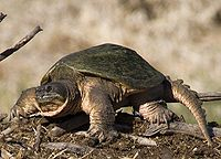 A common snapping turtle standing on all fours with its head slightly retracted and facing left.