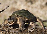 Una tortuga mordedora común de pie a cuatro patas con la cabeza ligeramente retraída y mirando hacia la izquierda.