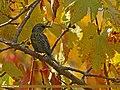 Common Starling (Sturnus vulgaris) (27166351855).jpg