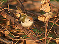 Common Tailorbird I2 IMG 9607.jpg
