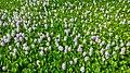Common Water Hyacinth Flower.jpg