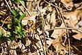 Common green darner (25711027193).jpg
