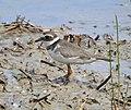 Common ringed plover.jpg