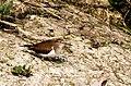 Common sandpiper (Actitis hypoleucos) 64.jpg