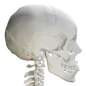 Condyloid fossa - Skull and cervical vertebra. Position of condyloid fossa shown in red.