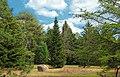 Conifer Plantation (2) (8651154700).jpg