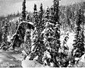 Conifers in the snow, probably Yukon Territory (CURTIS 566).jpeg
