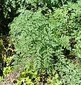 Conium maculatum leaf (21).jpg
