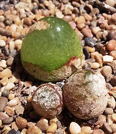 Conophytum burgeri in cultivation 1.jpg