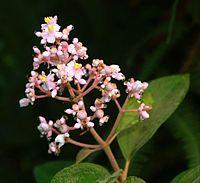 Conostegia xalapensis 1