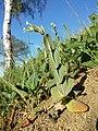 Conringia orientalis sl36.jpg