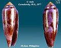 Conus viola 2.jpg