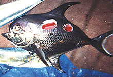 a silvery fish with round concavities gouged from its side