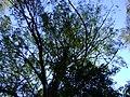 Copa de eucalipto 2.jpg