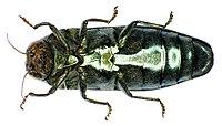 Coraebus florentinus underside1.jpg