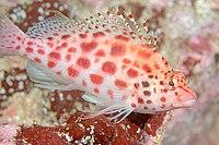Coral Hawkfish